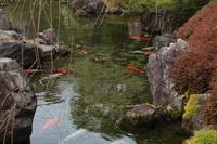 京都 城南宮 池の鯉