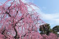 京都 城南宮 しだれ梅