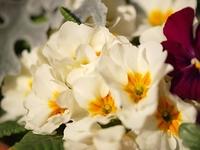 白いプリムラジュリアンの花