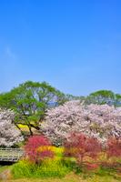 千曲川河川公園の桜