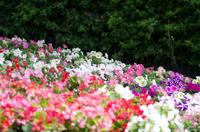 ベゴニアの花