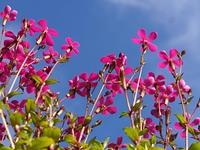 スパニッシュフラメンコの花