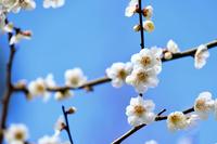 北野天満宮と梅の花