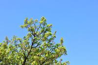3月の河津さくらと青葉