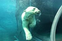 泳ぐホッキョクグマ