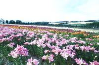 美瑛のお花畑