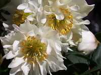 白い八重咲きのクリスマスロ-ズ