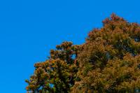 花粉が赤く色づく杉林