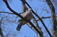 枝に止まる鳩