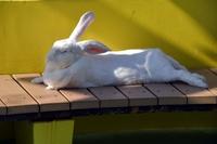 もふもふウサギ