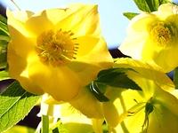 黄色いクリスマスロ-ズの花