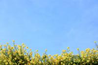 あわじ花さじきの菜の花