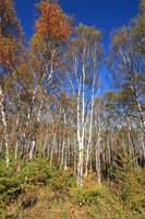 八千穂高原 秋の白樺群生地