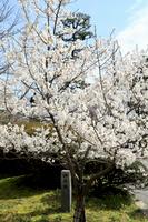 岡崎城の神代桜