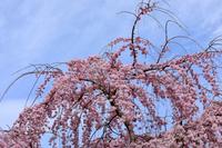岡崎城のしだれ桜
