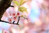 名古屋城の二之丸庭園の桜