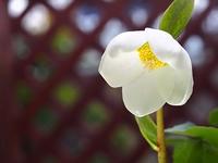 白いクリスマスロ-ズの花