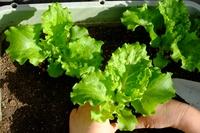 リーフレタス苗の植え付け
