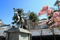 大垣城の満開の桜