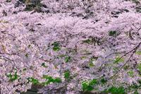 桜 千鳥ヶ淵