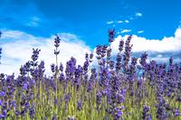 ニュージランドのラベンダー畑