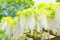 京都の藤棚