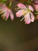ニワザクラの花