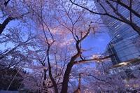 ミッドタウンの夜桜
