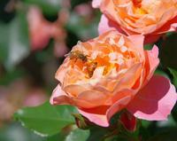 薔薇の花に集る蜂