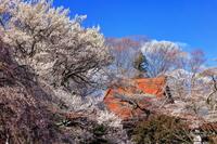実相寺の桜と甲斐駒ヶ岳