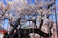 高山神代桜