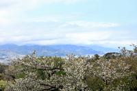 日本平パークウェイから見た桜