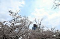 駿府城の満開の桜