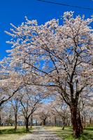 大石寺から見た満開の桜