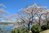 田貫湖と桜