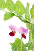 えんどう豆の花 野菜