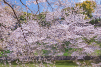 桜咲く千鳥ヶ淵
