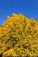 黄葉のイチョウの木