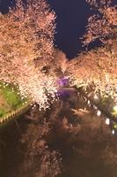 外濠と夜桜(弘前城)