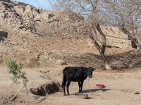 ヒヴァ郊外の家畜牛