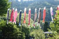 京都 鯉のぼり