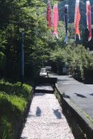 京都 疎水を泳ぐ鯉のぼり