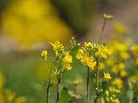 ノラボウナの花