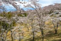 山梨県南巨摩郡富士川町 大法師公園の桜