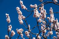 信州 長野県千曲市あんずの里のあんずの花