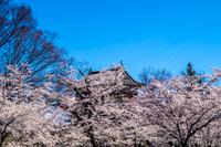 信州 長野県上田市上田城址の桜と西櫓