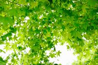 新緑・緑・6月・自然のイメージ