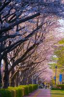 調布飛行場の桜並木道