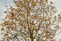 晩秋のイチョウの木