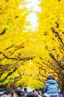 神宮外苑いちょう並木の銀杏と人々
